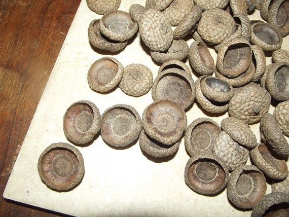 Natural Acorn Tops for Weddings Decor or Crafting Over 130 Oak Large all fully intact not broken