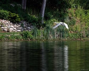 "Swan in Flight Glossy 8x10"", photograph, bird, nature, waterfowl, reflection,wildlife photography"