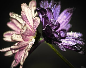 """Flower Photography - two daisies with raindrops, flowers, winter, purple and pink, flower wall prints, purple wall decor -  """"Held Up"""""""