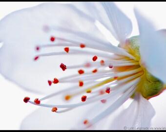 "Flower Photography -- white cherry blossom in spring, home decor, nature, white flower, flower wall art, white wall decor - ""Confetti"""