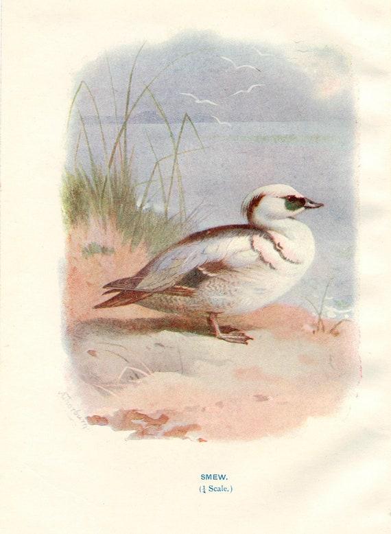 Smew  - Antique Bird Print - Vintage Bird Illustration - Bird Print from Swaysland, Familiar Wild Birds