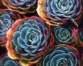 Colorful Cactus Rose