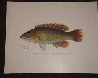 Denton Fish Print - Bergall : Cunner