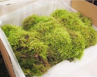 Moss, Dry Tree Moss, Beautiful Green lush Tree moss