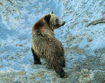 Looking Back--grizzly bear, Yellowstone National Park, Wyoming, river