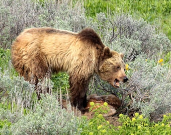 Dinner for one--grizzly bear, Yellowstone National Park, Wyoming, 8x10, photography, fine art