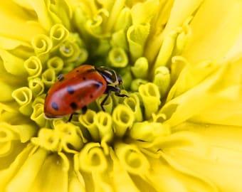 Lady Bug--marigold, yellow, red, flower, fine art, 8x10
