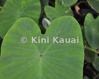 Taro leaves, Kauai