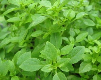 Organic Greek basil seeds,non gmo seeds,heirloom seeds,80,greek basil herb seeds,pesto basil,small leaf basil