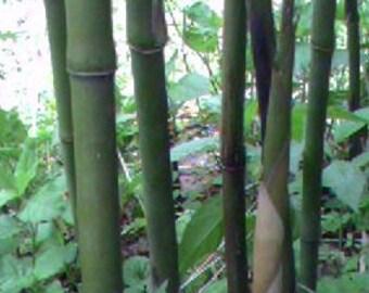 Arundinaria Gigantea,  River Cane, native North American live bamboo plant.