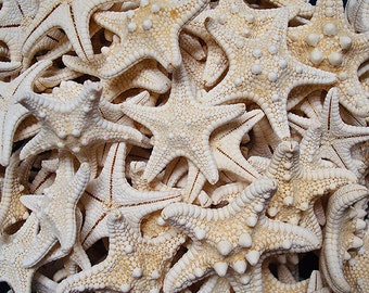 "White Knobby Starfish (5 pcs.) - (1-2"") - Protoreaster Nodosus"