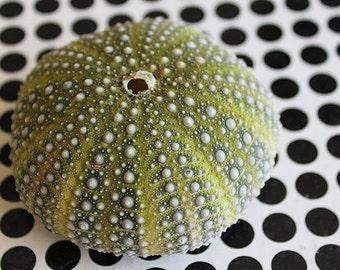 "Green Mexican Sea Urchin (1.5 - 2.5"") - Strongylocentrotus Drobachiensis"