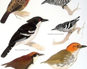 Bird Print -  Ocellated Antbird,  Streaked Antwren, Barred Antshrike, Great Antshrike - Vintage 1984 Book Page