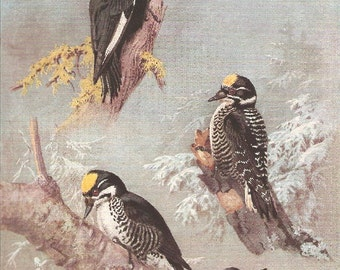 Vintage Bird Print, Book Plate, Woodpeckers, White Headed, 3 Toed Woodpecker, Allan Brooks, Antique Bird Illustration, 1930s