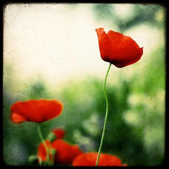 Morning Poppies - Fine Art Print - Nature Photography - Red Green TTV - Say It With Flowers - TFTeam - Flower Photograph