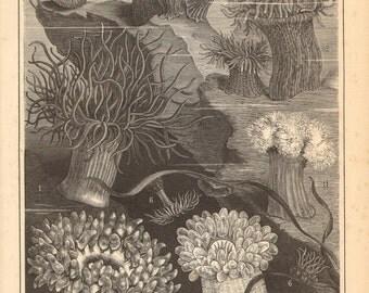 1888 Sea Anemones, Snakelocks Anemone, Cloak Anemone, Christmas Anemone, Hermit Anemone, Daisy Anemone, Golden Anemone Antique Engraving