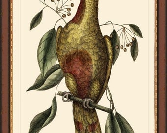 PARROT OF PARADISE - Catesby 12X16 bird print reproduction 7012