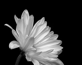 Black & White Daisy Photograph, Nature Photograph, Flower Fine Art Photograph, Botanical Photograph