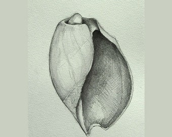 Shell - number 3 - Original pencil drawing on acid free Canson paper 200 gr. by Cristina Ripper