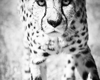 Cheetah Wall Art, Black and White Wildlife Decor Photo,  Fine Art Animal Monochrome Photography Print