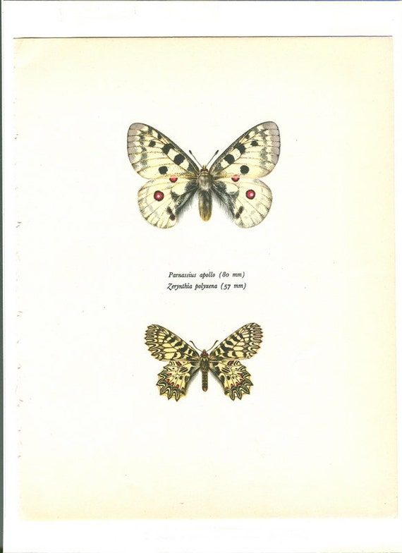 Vintage Butterfly Print  1960s Natural History Parnassius Apollo and    Vintage Butterfly Print