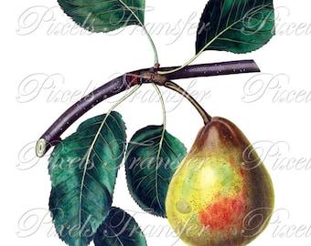 PEAR Instant Download fruits Digital Downloads, botanical illustration, yellow fruit clipart 206