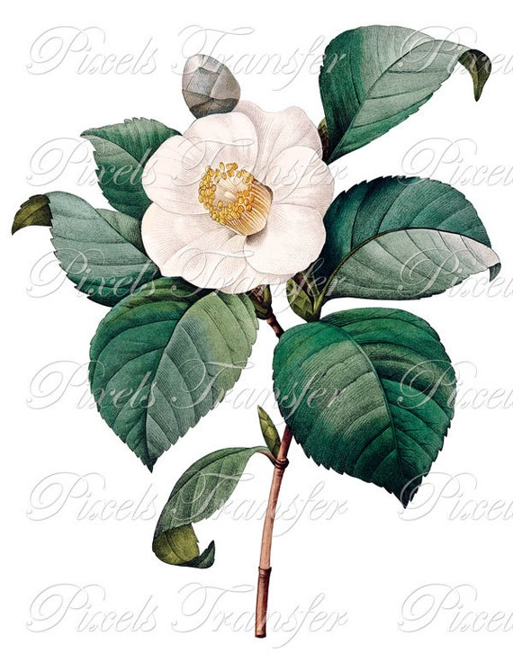White CAMELLIA Instant download digital download white flower wedding clipart Redoute 063
