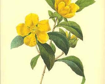 Redoute Botanical Print - Dillenia - 33