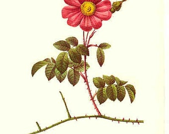 Redoute Botanical Rose Print  30