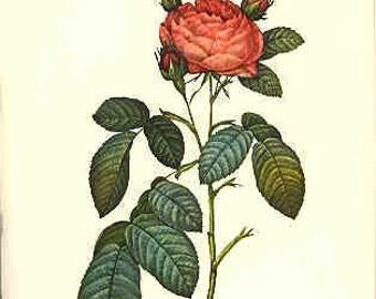 Redoute Botanical Rose Print  51
