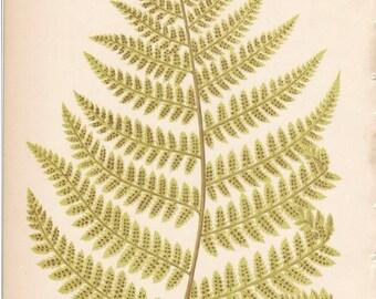 1800s Antique Fern Print, Vintage Fern Print, Lowe Native Ferns Antique Print, British Ferns, Color Plate, Bookplate 21