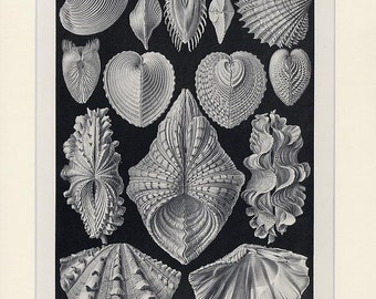 Haeckel Sea Shells Lithograph Print - 1901 Original Sealife Antique Lithograph - Ernst Haeckel Ocean Print Nature