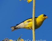 Bird Photography, Gold Finch, Colorful Art, Playroom, Kid's Room, Living Room, 8x10 Print
