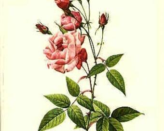 Redoute Botanical Rose Print  43