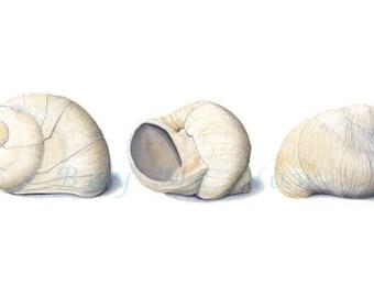 Sea Snail Shell watercolor print