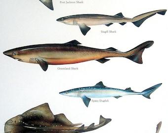 Fish Print - Port Jackson Shark, Sixgill Shark, Monkfish, Spiny Dogfish etc. - Vintage 1984 Fish Book Plate