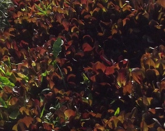 Marvel of Four Seasons Lettuce seeds, Organic