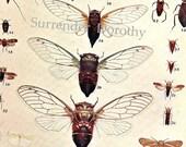 Cicada Leaf Hopper Chart 1907 Vintage Edwardian Entomology Natural History Rotogravure XXVII Antique Illustration To Frame