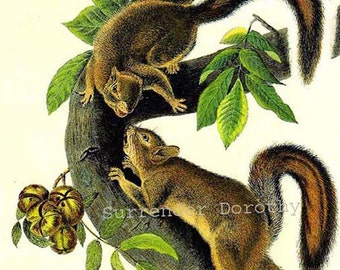 Hare Squirrel John J Audubon Print Natural History Wild Animal Lithograph For Framing
