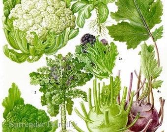 Broccoli Cauliflower Kohlrobi Calabrese Plant Flowers Food Chart Vegetable Botanical Lithograph Illustration For Your Vintage Kitchen 159