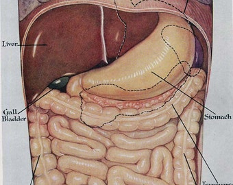 Digestive  Exceretory System Anterior Human Anatomy Vintage Medical Chart 1930s Lithograph To Frame