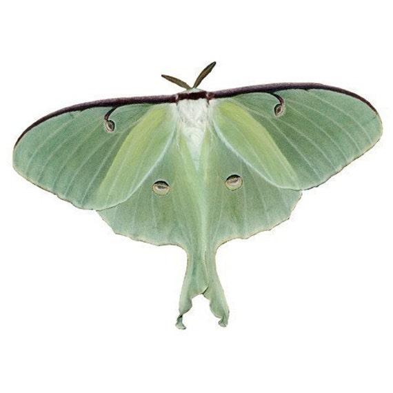 Luna Moth Vinyl Decal 3 inch wide