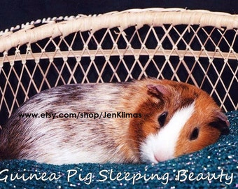 """GUINEA PIG Sleeping Beauty Photograph - Limited Edition 8x10"""" Glossy Portrait"""