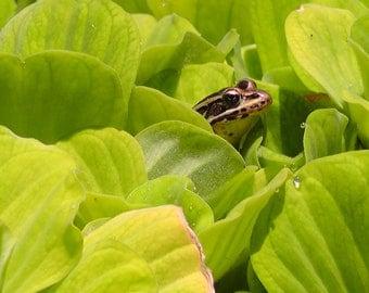 Peeking Frog through Water Lettuce