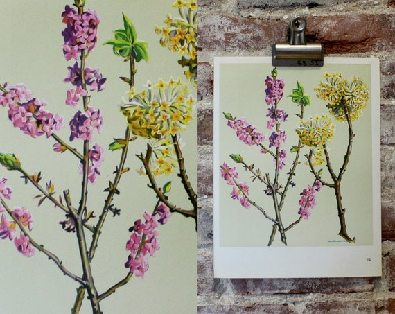 Vintage Flower Plate  - Daphne and Edgeworthia - Botanical Illustration 1968