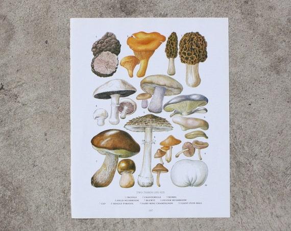 Vintage Print  - Mushrooms and Fungi - 1978