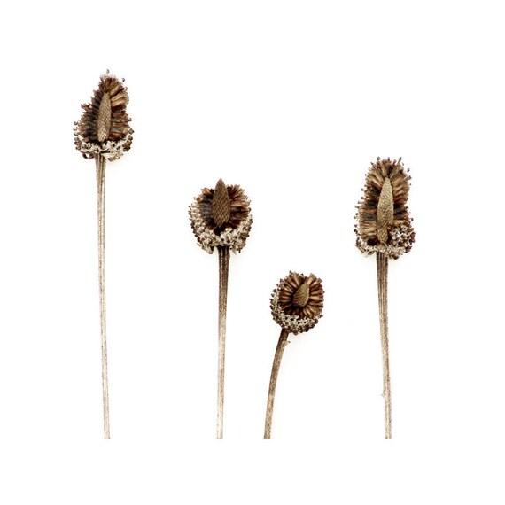 Seed Stalks Rustic Botanical Art Photograph Minimalist Woodland Nature Wall Decor