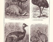1902 Bird Print - Ostriches Emu and Kiwi - Vintage Antique Home Decor Art Illustration for Framing 100 Years Old