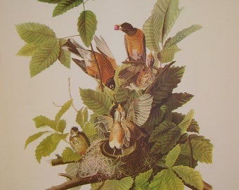 Vintage Robin Print From 18 Best Loved Bird Paintings by Audubon, Ready to Frame, 9 x 12 inches