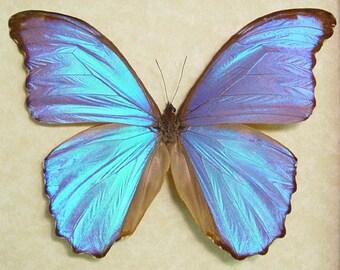 Morpho Godarti Real Framed Giant Purple Blue Butterfly 805
